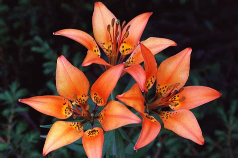 lilies or lillies wood lily pet poison helpline