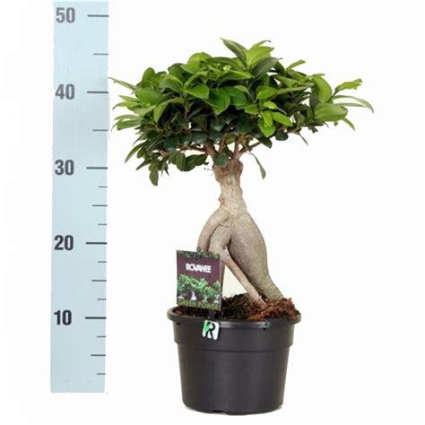 Arrosage Ficus Ginseng by Ficus