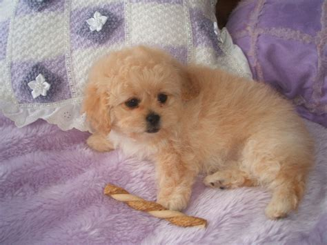 pekingese poodle lifespan poodle puppies dogs for sale in