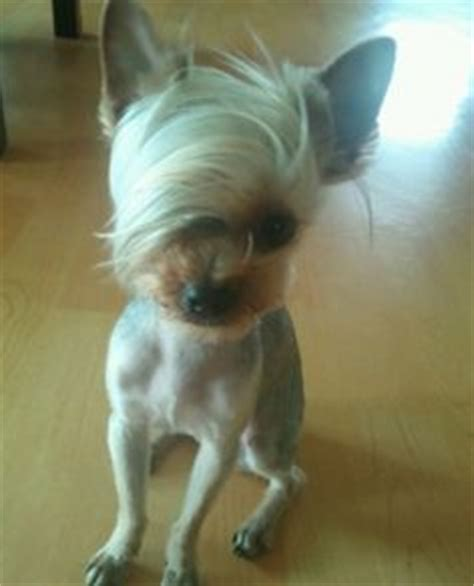Chihuahua With Bangs Hairstyles   1000 images about yorkie do on pinterest yorkie
