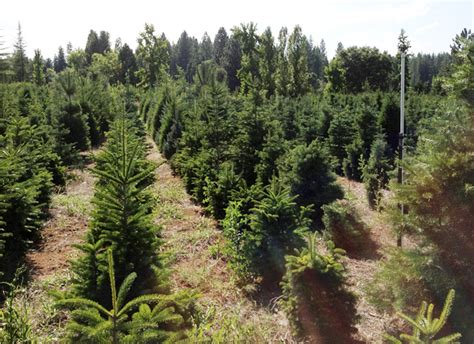 cut and choose christmas tree farm in the heart of apple