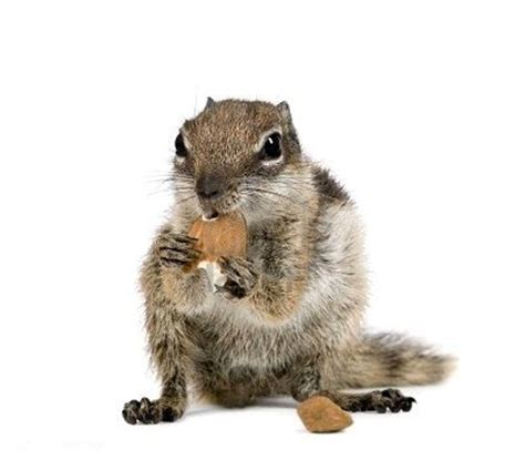 ate rat poison home remedy do squirrels eat rat poison images