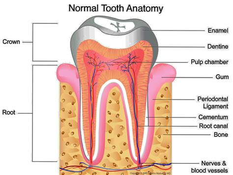 A Tooth For A Tooth dental tooth anatomy www imgkid the image kid has it