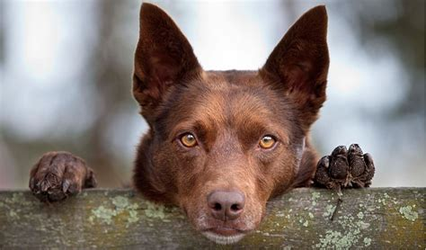 australian breeds working dogs australian geographic