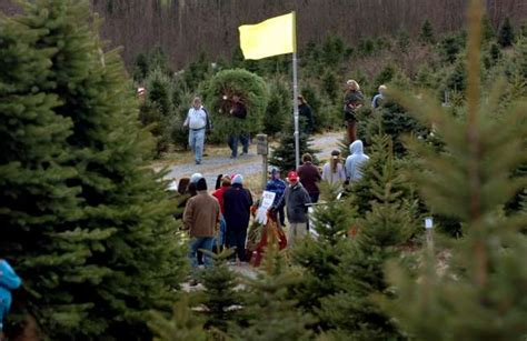 christmas tree shopping has big benefits connecticut post
