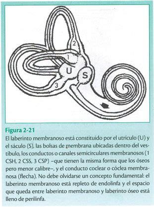vestibulo membranoso el saco endolinf 225 tico centro auditivo cuenca aud 237 fonos