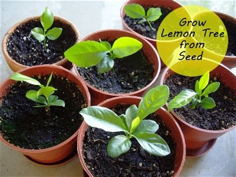 hardest plants to grow how to grow citrus indoors how to grow a lemon tree from seed http amazingdiyideas