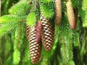 White Pine Cone by White Pine Cone And Tassel Maine State Flower Travel