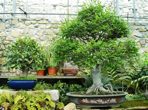 bonsai interno bonsai da interno