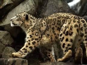 Mountain Jaguar Anatolian Leopard The Of Animals