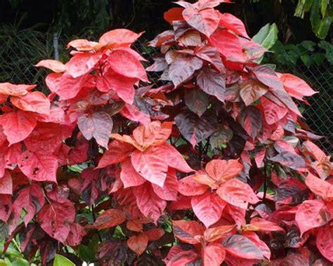 non flowering shrubs non flowering plants shanthi enterprises