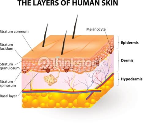 anatomy of human skin layer and arm stock vector 689023216 istock layers of human skin melanocyte and melanin vector thinkstock