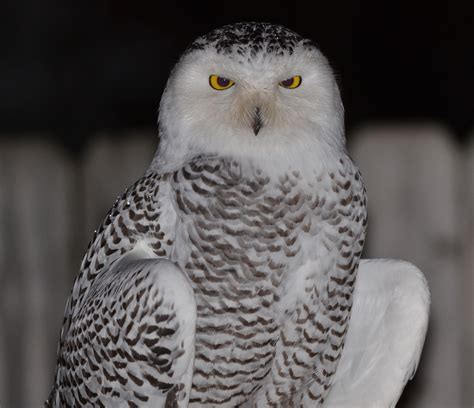 snowy owls are flocking to great lakes in big numbers this