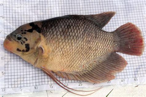Jual Bibit Ikan Gurame 2017 jual ikan gurame di kendari