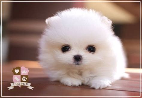 white teacup puppies micro mini white pom tiny and gorgeous teacup puppies for sale cheap litle pups