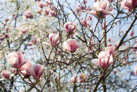 Arbres Fleurs Roses by Arbre Fleur La Pilounette