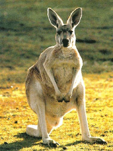 imagenes del canguro jack lista curiosidades sobre el canguro