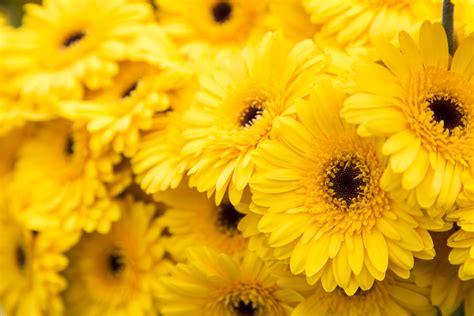 yellow flower wallpaper uk yellow flowers hortibiz
