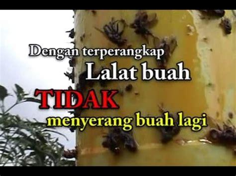 Lem Metilat Perangkap Lalat Buah Nasa Jakarta membuat perangkap serangga videolike