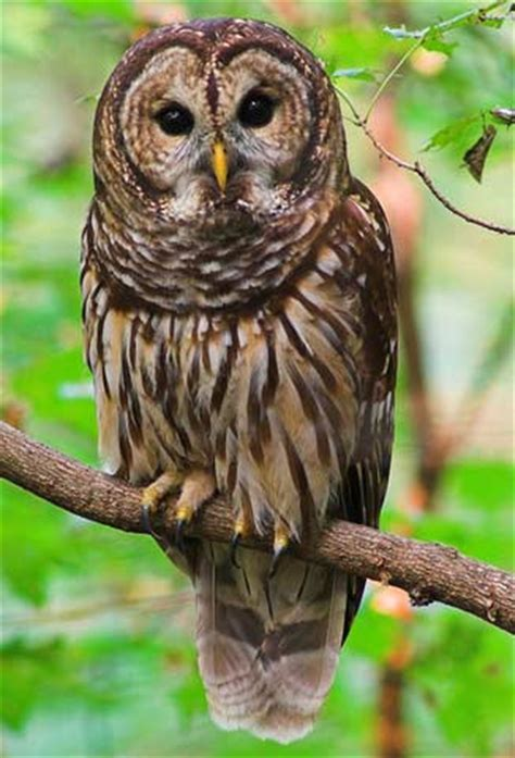 owls animal pictures and facts factzoo com
