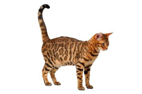 Bengalkatze   Katzen   Informationen zu den Rassen   Omlet