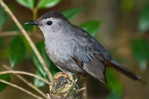 grey catbird dumetella carolinensis by africaddict