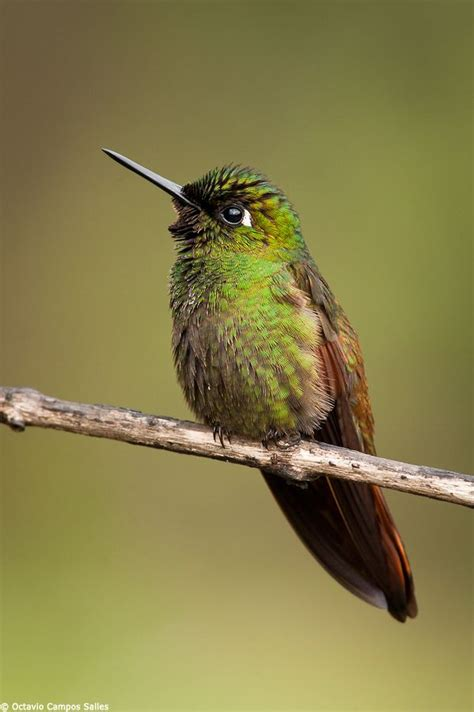 1000 images about beautiful brazilian ruby hummingbird