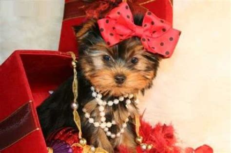 how many puppies can a yorkie 10 yorkie puppy photos yorkiemag