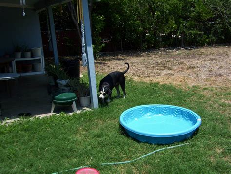 backyard dog pool found female hound mix dog near alamo heights san antonio texas tx page 7 city data forum