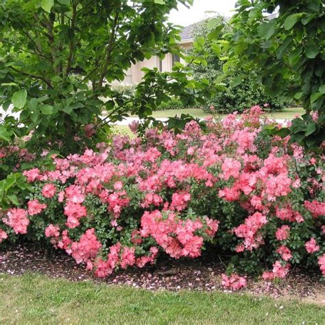flower carpet rose low growing ground covering rose continuous blooming low maintenance