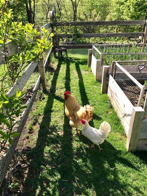 Chicken Garden by 25 Best Ideas About Chicken Garden On Olive
