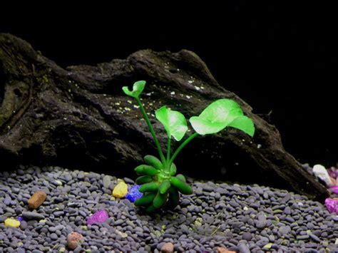 aquarium tropical plants banana plant beginner tropical live aquarium plant