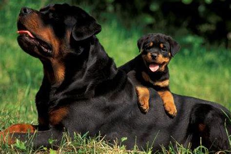 rottweiler puppies in rottweiler puppies for sale 25 wide wallpaper dogbreedswallpapers