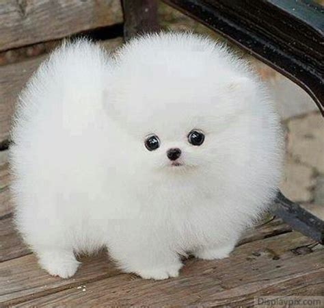 how to make pomeranian hair fluffy white fluff with black and nose animals to make us happy