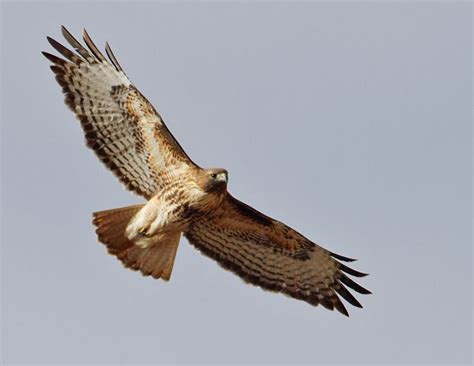 flight of the hawk the river a novel of the american west books soaring with redtails birdnote