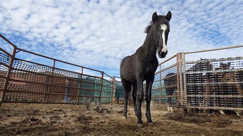 bureau of land management mustang adoption 2 ways to adopt a mustang coming to a town near you