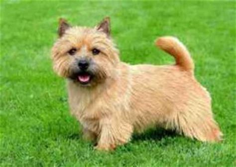 Norwich Terrier Shedding by A Review Of The Best 70 Hypoallergenic Dogs That Don T
