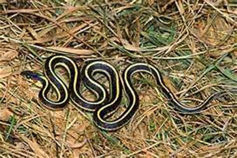 Garden Snake With Yellow Stripe Garter Snakes