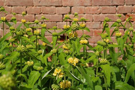 fiori gialli da giardino fiori gialli da giardino perenni mekan info