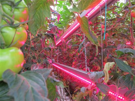grow lights for tomatoes aj both of rutgers discusses led lights for horticulture