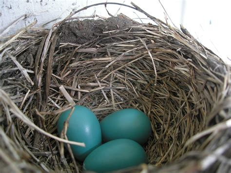 file american robin nest and eggs jpg