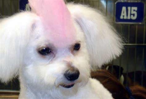 trova cucciolo di maltese gratis a torino 2017 types of maltese haircuts newhairstylesformen2014 com