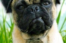 aggressive pug behavior k9 park launches behavior adjustment for reactive dogs