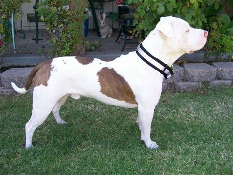 Pit Bull Terrier Shedding by Pit Bull Terrier History And Health Temperament