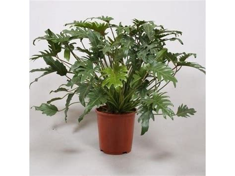 buy house plants uk philodendron xanadu exotic house plant in 17cm pot 60cm tall house plants