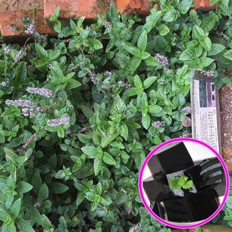 jual tanaman janggelan cincau hitam hp
