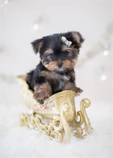 yorkie puppy for sale shih tzu puppies for sale teacups puppies boutique