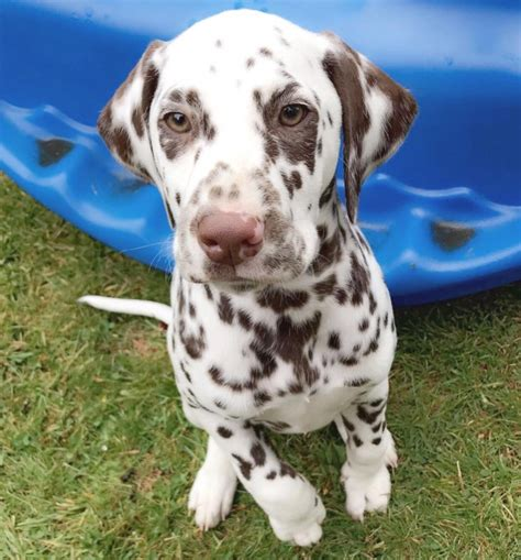 puppies for sale in philadelphia dalmatian puppies for sale los angeles for sale philadelphia pets dogs