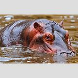 Hippopotamus Face In Water   749 x 468 jpeg 174kB