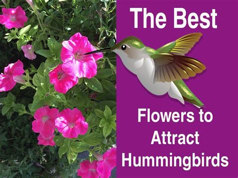 the best flowers to attract hummingbirds hummingbirds hq